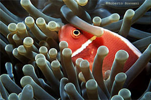 Pesce marino Amphiprion