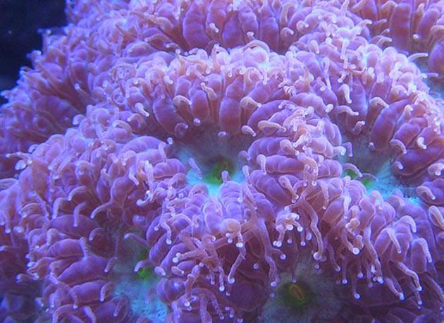 FAQ invertebrati marini Blastomussa