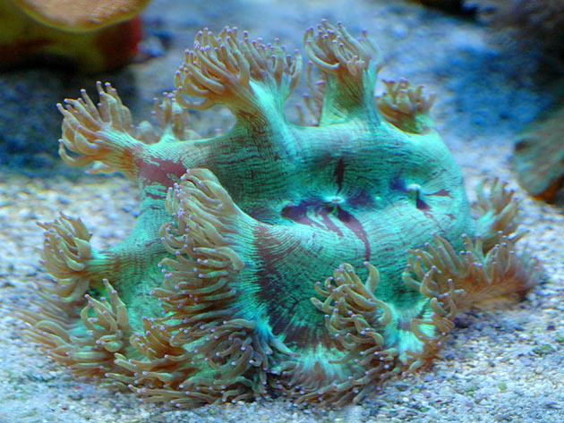 FAQ invertebrati marini Catalaphyllia