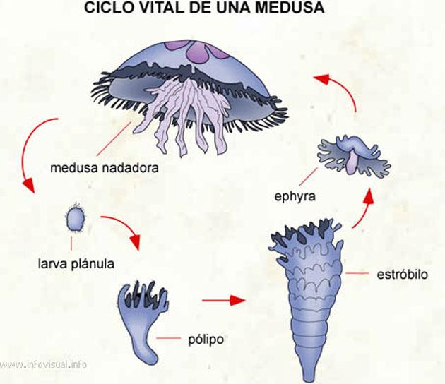 Blu medusa