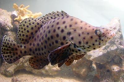 Pesci acquario marino Cromireptiles