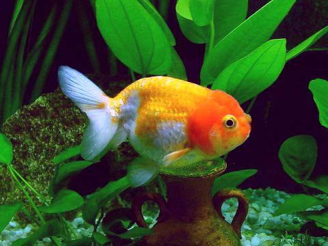 Pesci rossi specie allevamento riproduzione pagina 2 for Riproduzione pesci rossi in laghetto