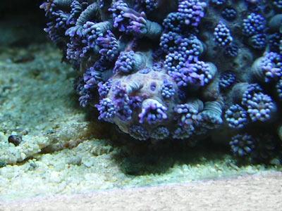 goniopore