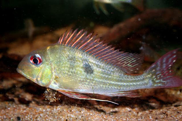 Pesce dolce Geophagus spec. altifrons
