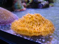 Corallo LPS Fungia