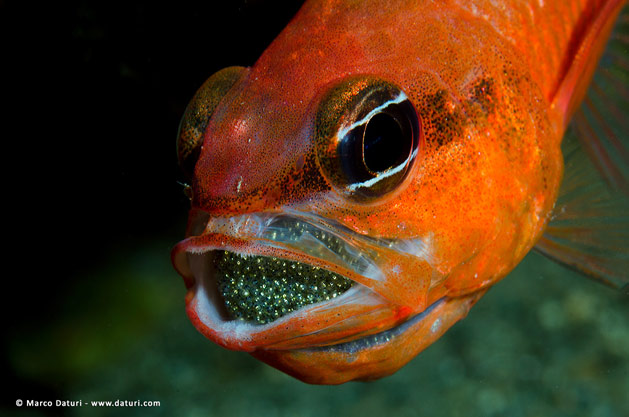 Pesce marino Apogon imberbis