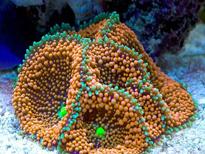 Corallo molle Ricordea