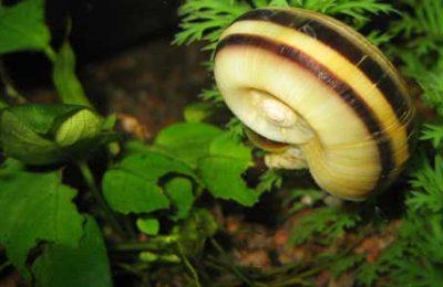 Lumache acquario dannose Marisa cornuarietis
