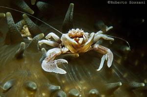 anemoni con granchio