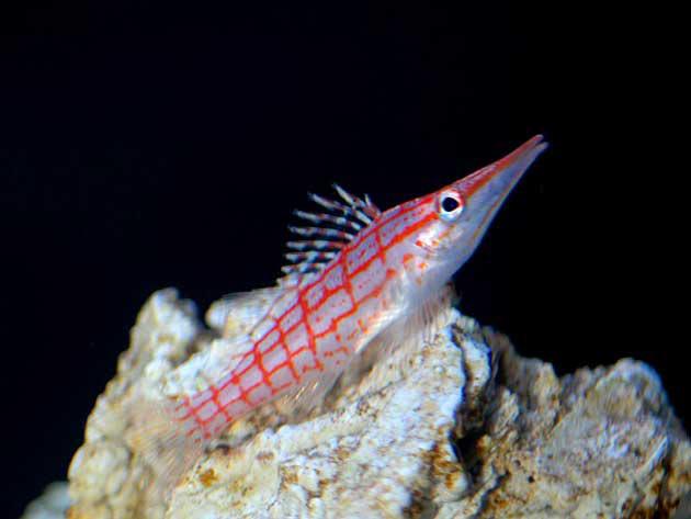Pesce marino Oxycirrhites typus