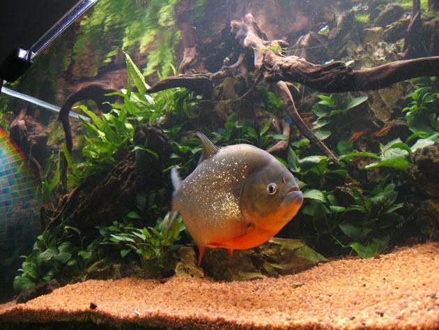 Pesce dolce Piranha sp