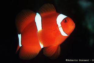 Pesci acquario marino Premnas