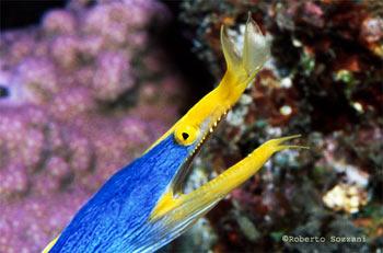 Pesci acquario marino murena