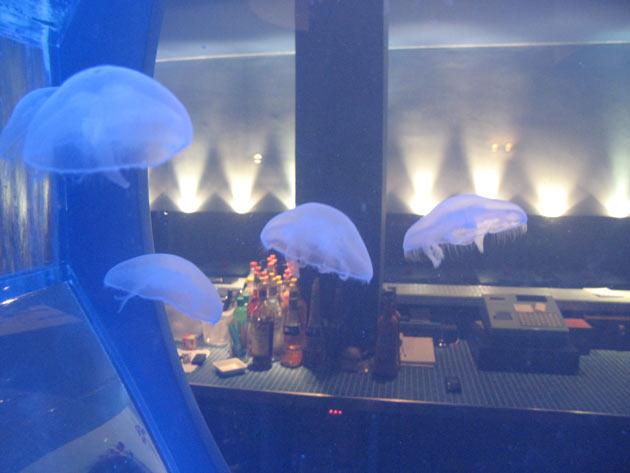 Blu medusa Aurelia aurita