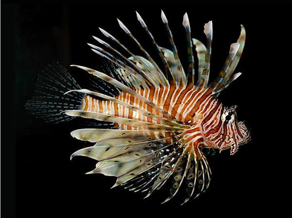 Pesce marino Pterois volitans
