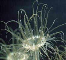 anemoni Aiptasia
