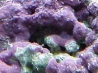 rocce vive nei nanoreef