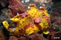 Pesce marino Antennarius maculatus