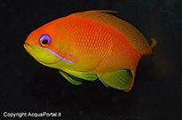 Pesce marino Anthias sp