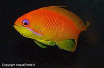 Pesce marino Anthias sp