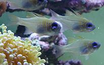 Pesce marino Apogon Leptacanthus