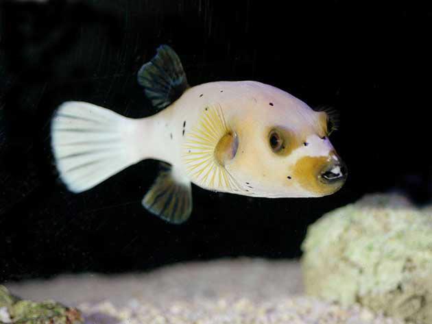 Pesce marino Arothron Nigropuntatus