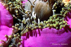 anemoni Heteractis