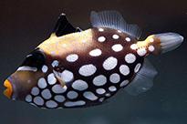 Pesce marino Balistoides conspicillum