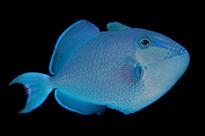 Pesce marino Odonus niger