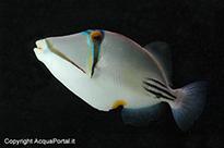 Pesce marino Rhinecanthus aculeatus