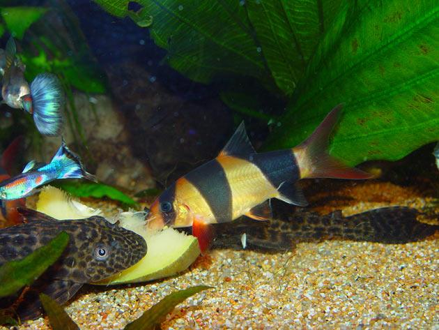 Pesce dolce Botia sp