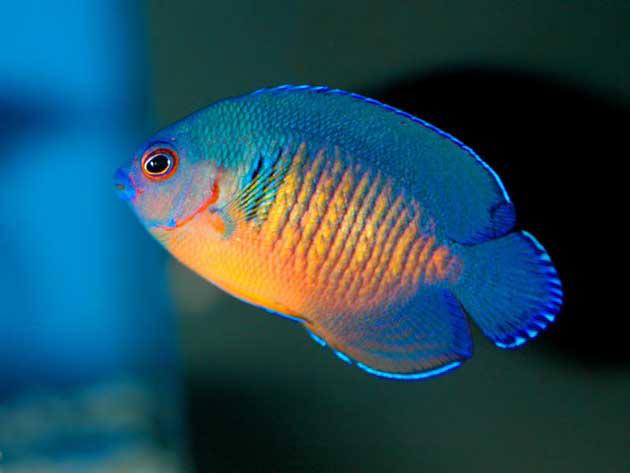Pesce marino Centropige bispinosus