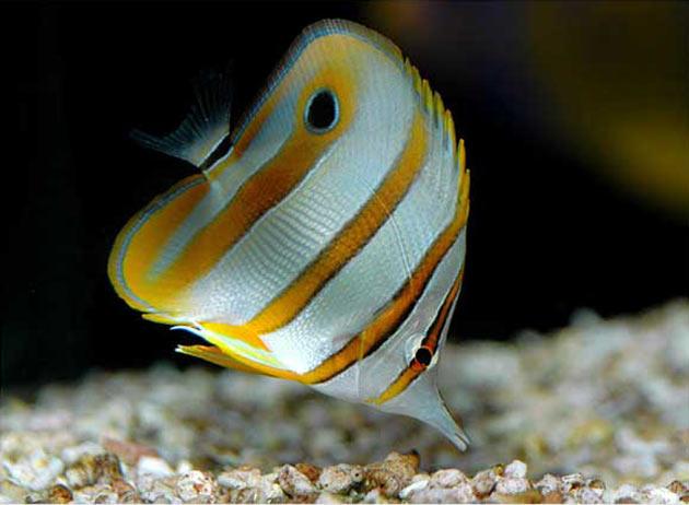 Pesce marino Chelmon rostratus
