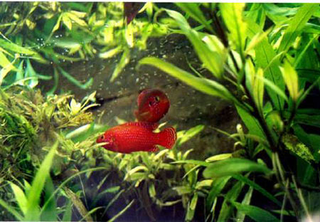 Pesce dolce Hemichromis sp