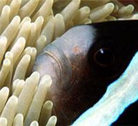 anemoni con pesce pagliaccio