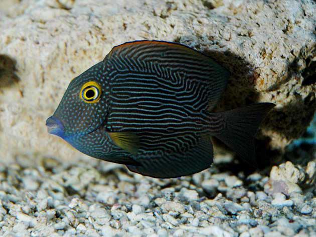 Pesce marino Ctenochaetus strigosus
