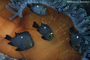 Pesci acquario marino Dascyllus