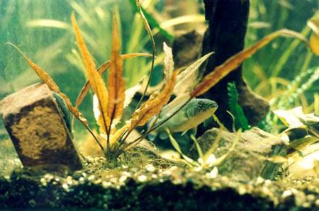 Pesce dolce Chrenicichla Lugubris