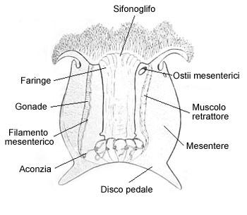 anemoni disegno piede