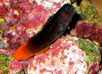 Pesce marino Ecsenius bicolor