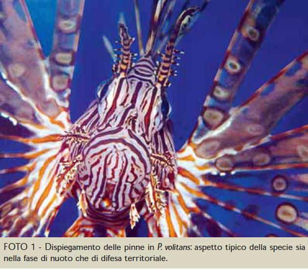 infortuni pesci pterois volitans