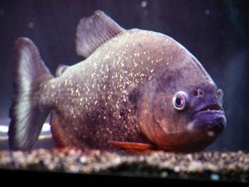 Pesce Piranha PYGOCENTRUS CARIBE