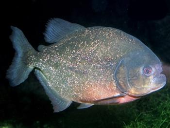 Pesce Piranha PYGOCENTRUS NATTERERI