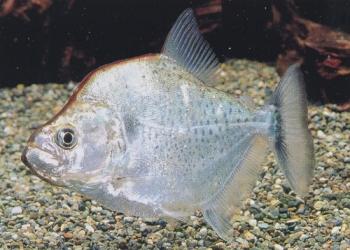 Pesce Piranha SERRASALMUS GERYI