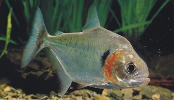 Pesce Piranha SERRASALMUS MANUELI