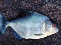 Pesce Piranha SERRASALMUS RHOMBEUS