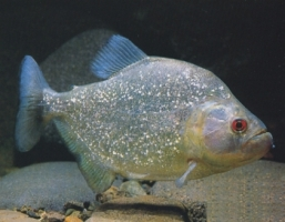 Pesce Piranha SERRASALMUS SPILOPLEURA