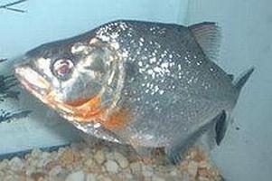 Pesce Piranha SERRASALMUS ELONGATUS