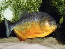 Pesce Piranha PYGOCENTRUS PIRAYA