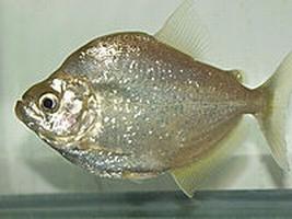Pesce Piranha SERRASALMUS BRANDTII